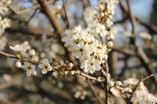 Weisse Blütenpracht des Schwarzdorns